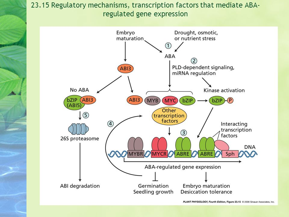23.15 Regulatory mechanisms, transcription factors that mediate ABA-regulated gene expression