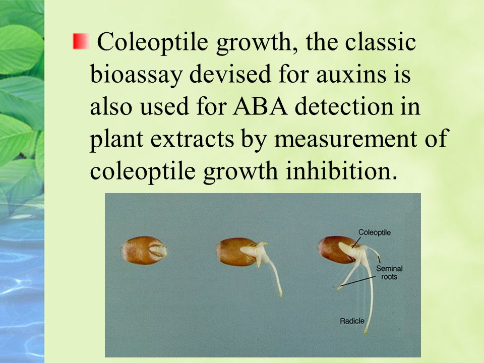 Coleoptile growth, the classic bioassay devised for auxins is also used for ABA detection in plant extracts by measurement of coleoptile growth inhibition.