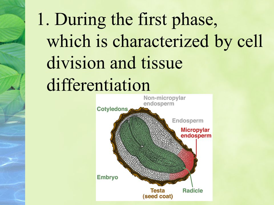 1. During the first phase, which is characterized by cell division and tissue differentiation