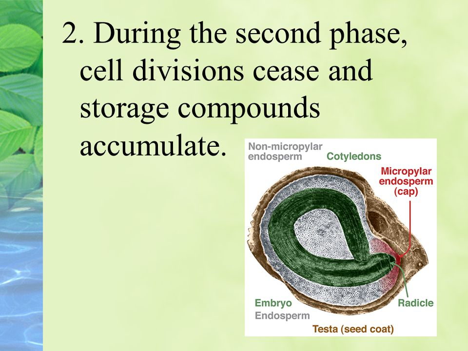2. During the second phase, cell divisions cease and storage compounds accumulate.