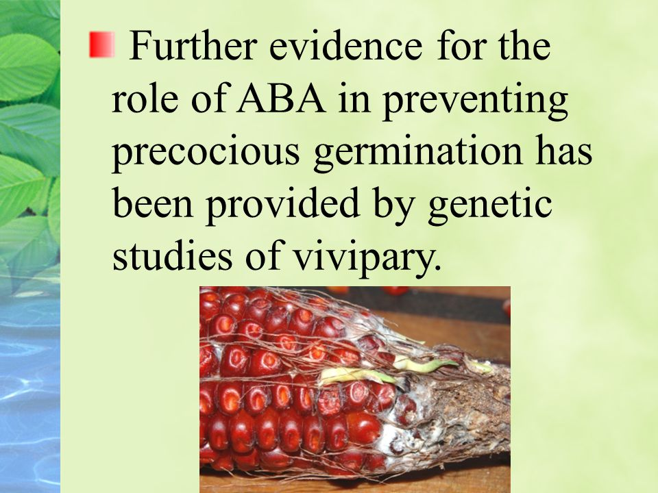 Further evidence for the role of ABA in preventing precocious germination has been provided by genetic studies of vivipary.