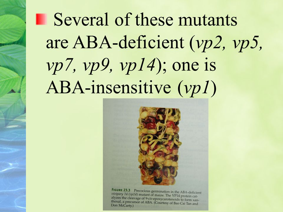 Several of these mutants are ABA-deficient (vp2, vp5, vp7, vp9, vp14); one is ABA-insensitive (vp1)