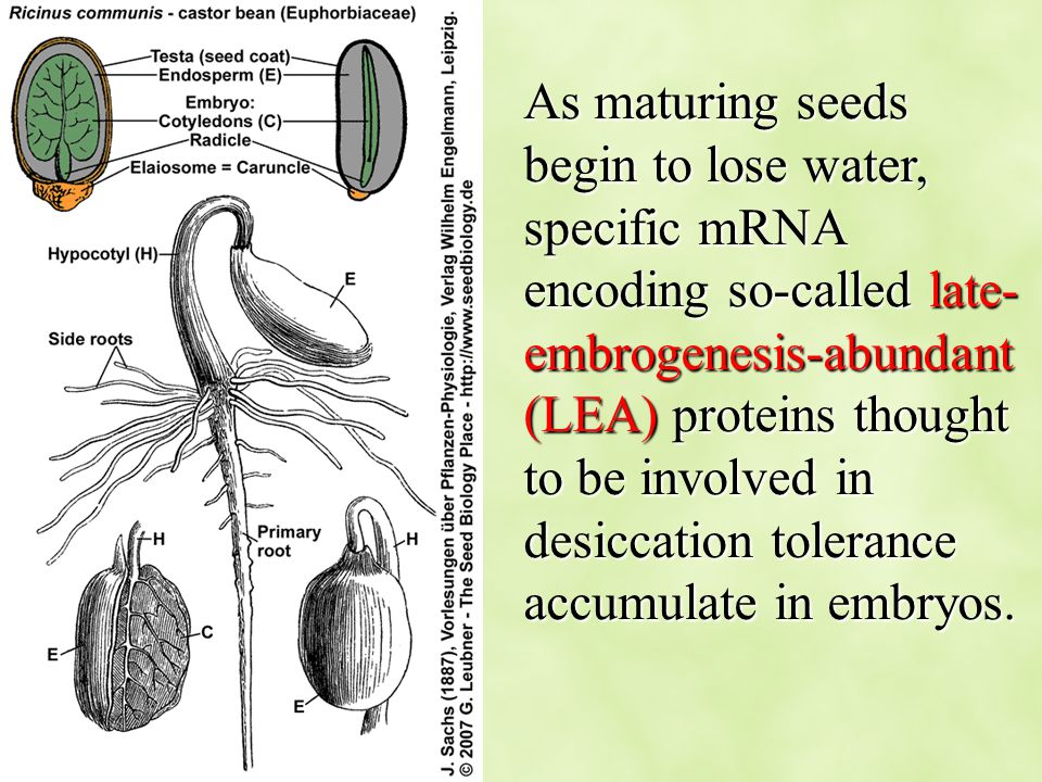 As maturing seeds begin to lose water, specific mRNA encoding so-called late-embrogenesis-abundant (LEA) proteins thought to be involved in desiccation tolerance accumulate in embryos.