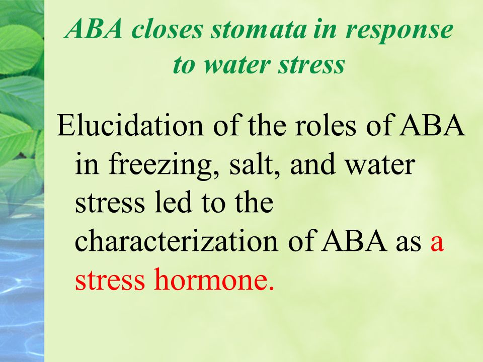 ABA closes stomata in response to water stress