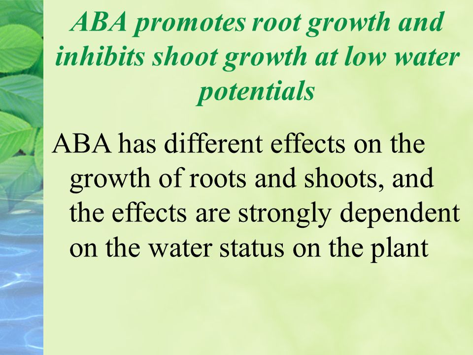 ABA promotes root growth and inhibits shoot growth at low water potentials