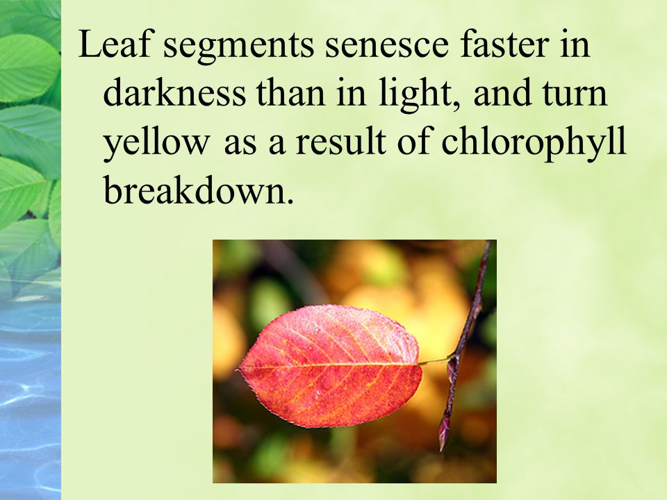 Leaf segments senesce faster in darkness than in light, and turn yellow as a result of chlorophyll breakdown.