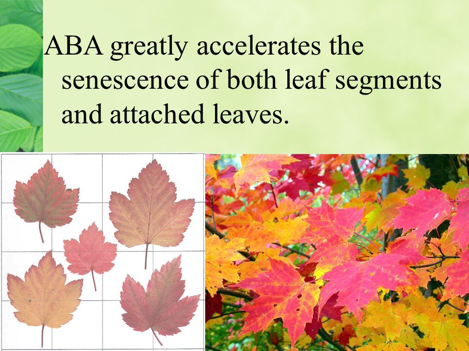ABA greatly accelerates the senescence of both leaf segments and attached leaves.