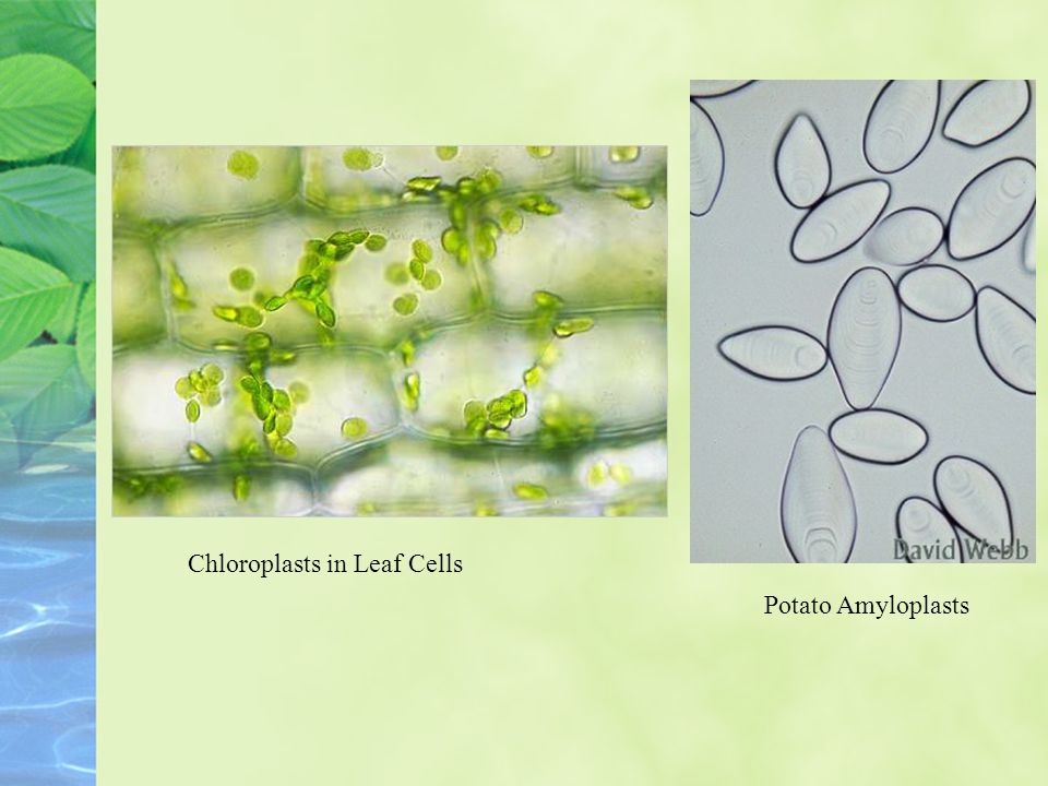 Chloroplasts in Leaf Cells