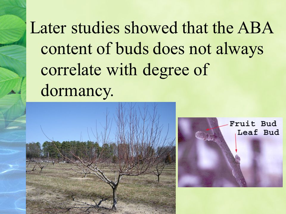 Later studies showed that the ABA content of buds does not always correlate with degree of dormancy.