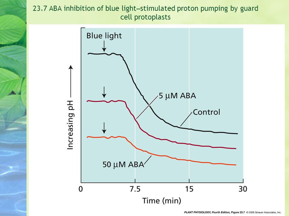 23.7 ABA inhibition of blue light–stimulated proton pumping by guard cell protoplasts
