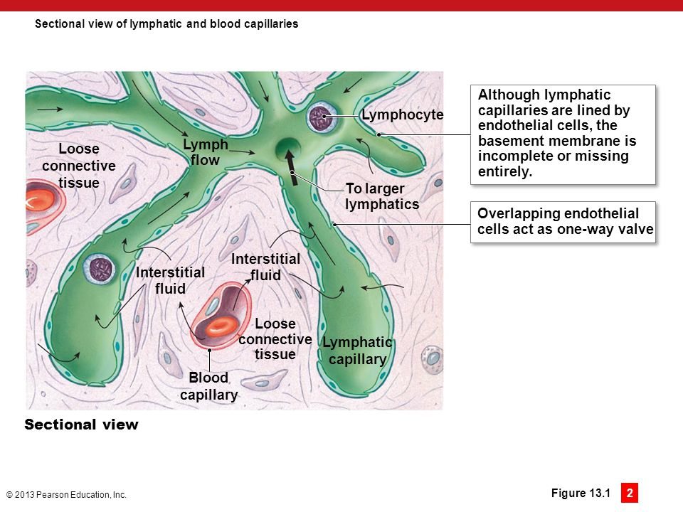 Sectional view of lymphatic and blood capillaries