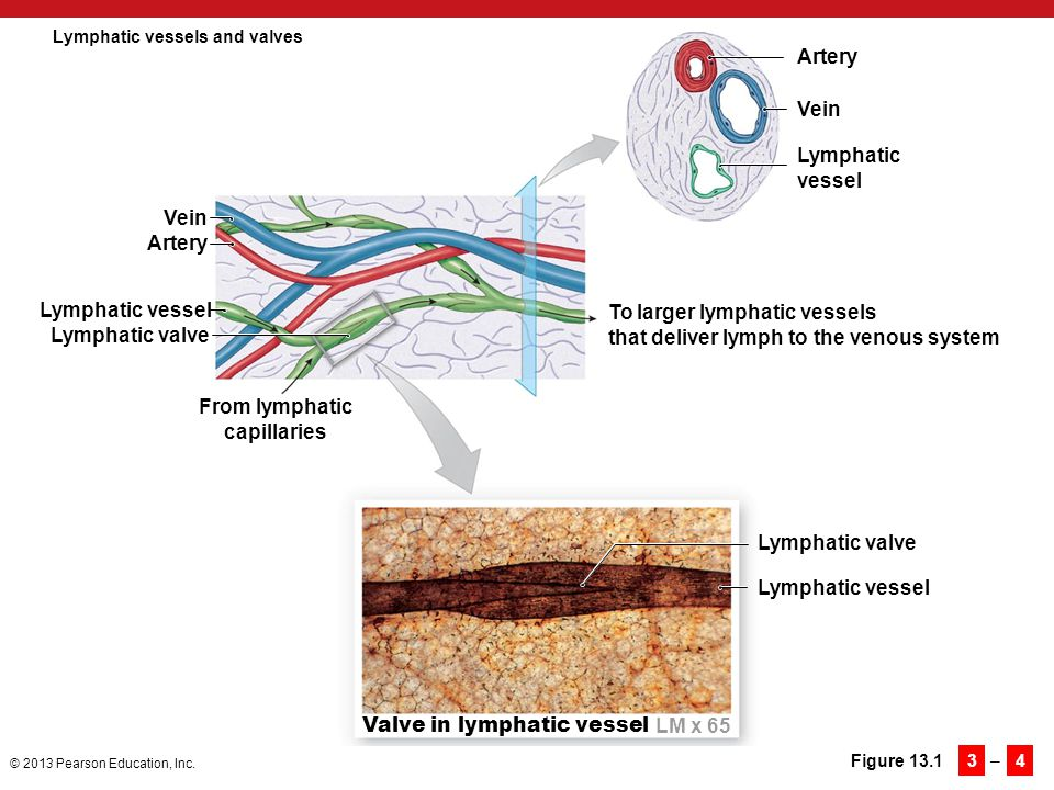 Lymphatic vessels and valves