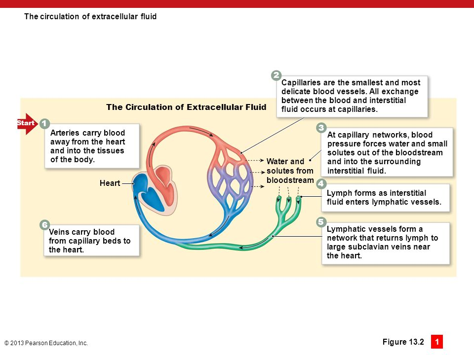 The circulation of extracellular fluid