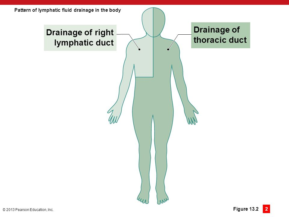 Pattern of lymphatic fluid drainage in the body