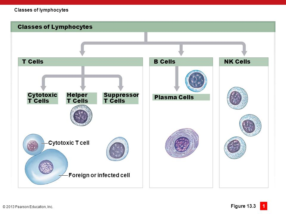 Classes of lymphocytes
