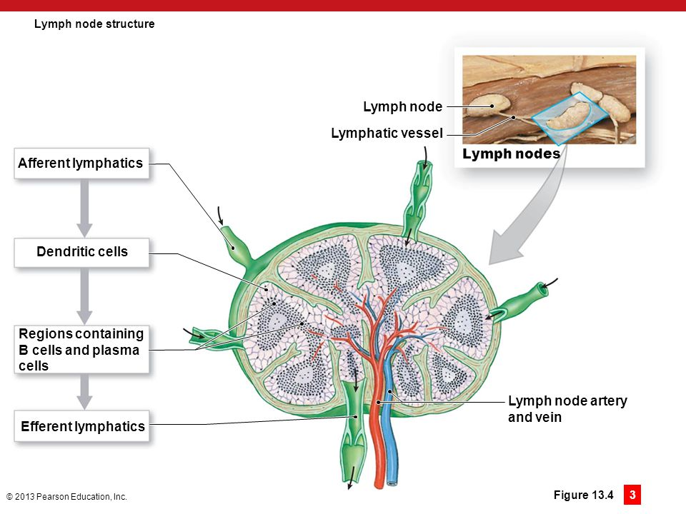 Lymph node Lymphatic vessel Lymph nodes Afferent lymphatics