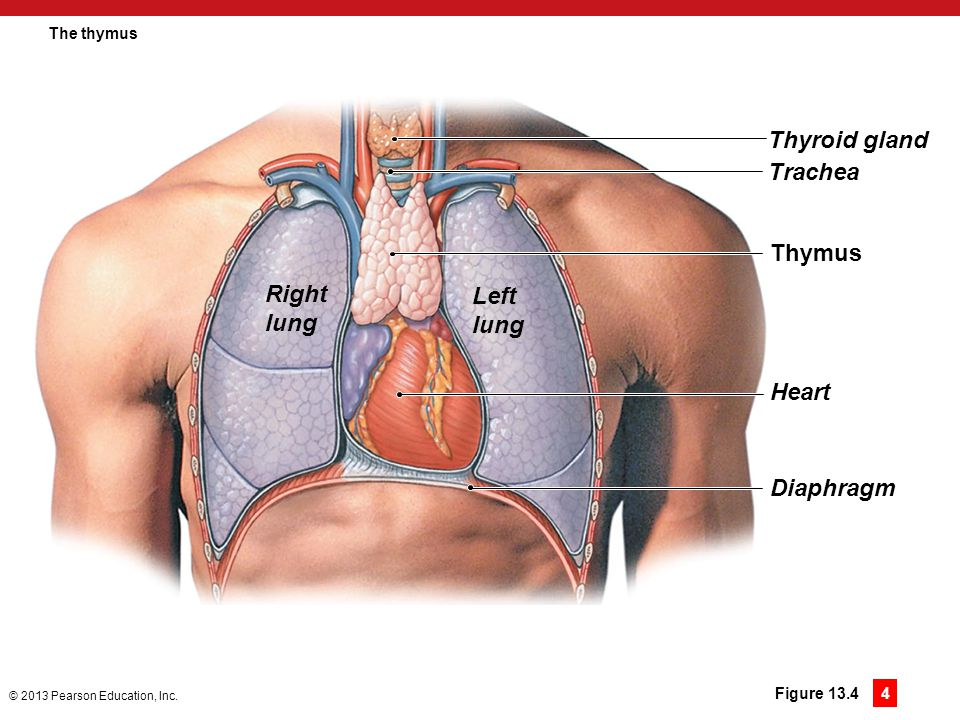 Thyroid gland Trachea Thymus Right Left lung lung Heart Diaphragm