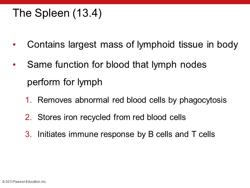 The Spleen (13.4) Contains largest mass of lymphoid tissue in body