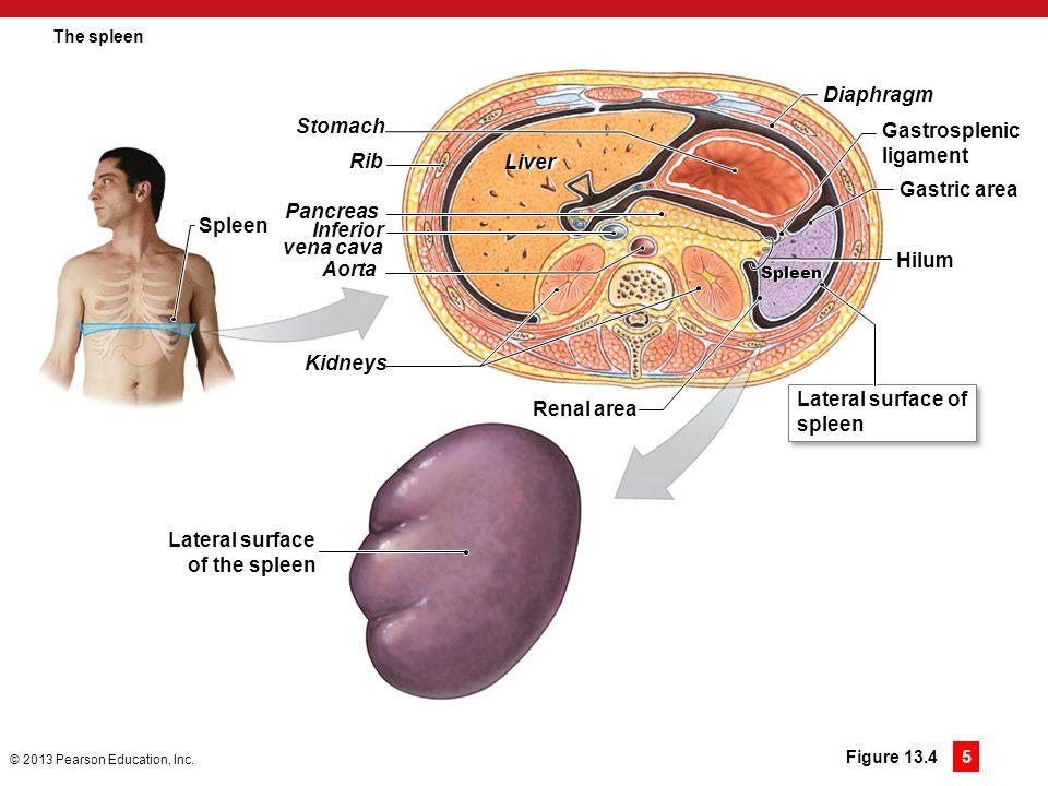 Diaphragm Stomach Gastrosplenic ligament Rib Liver Gastric area