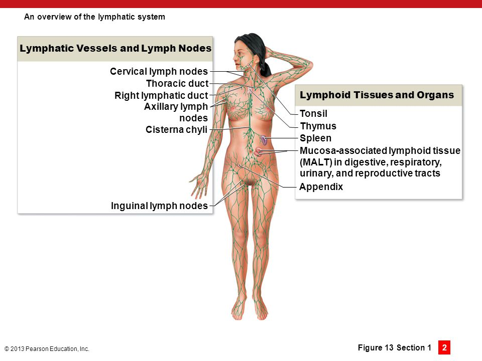 An overview of the lymphatic system