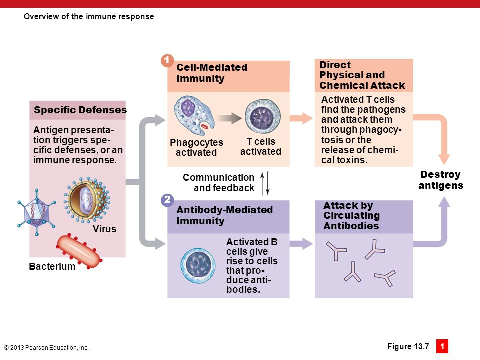 Overview of the immune response