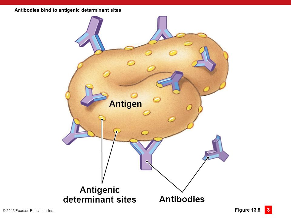 Antibodies bind to antigenic determinant sites