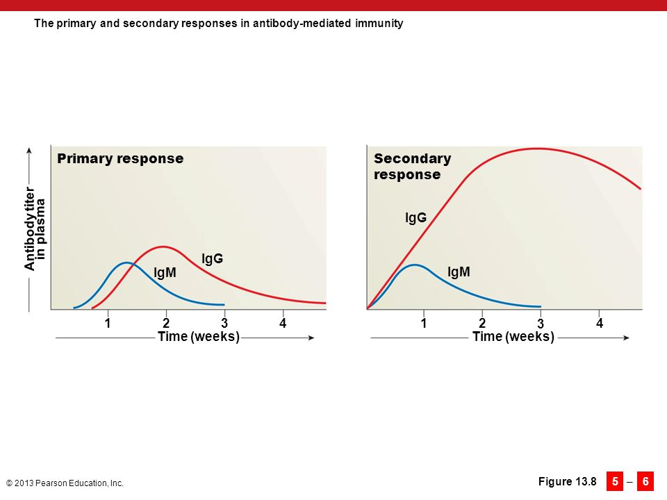 The primary and secondary responses in antibody-mediated immunity