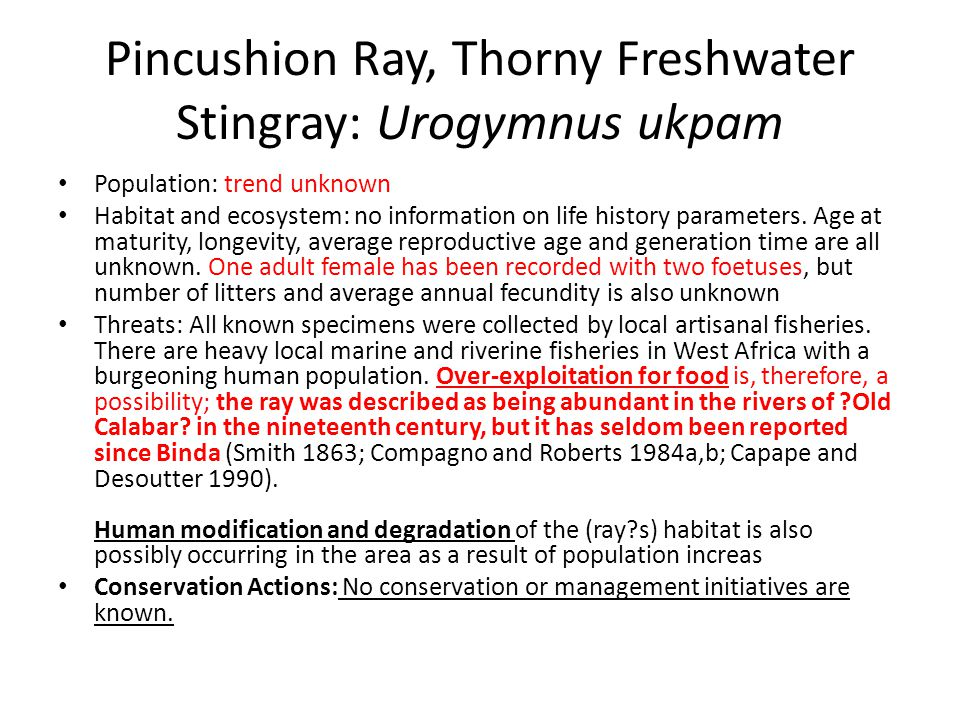 Pincushion Ray, Thorny Freshwater Stingray: Urogymnus ukpam