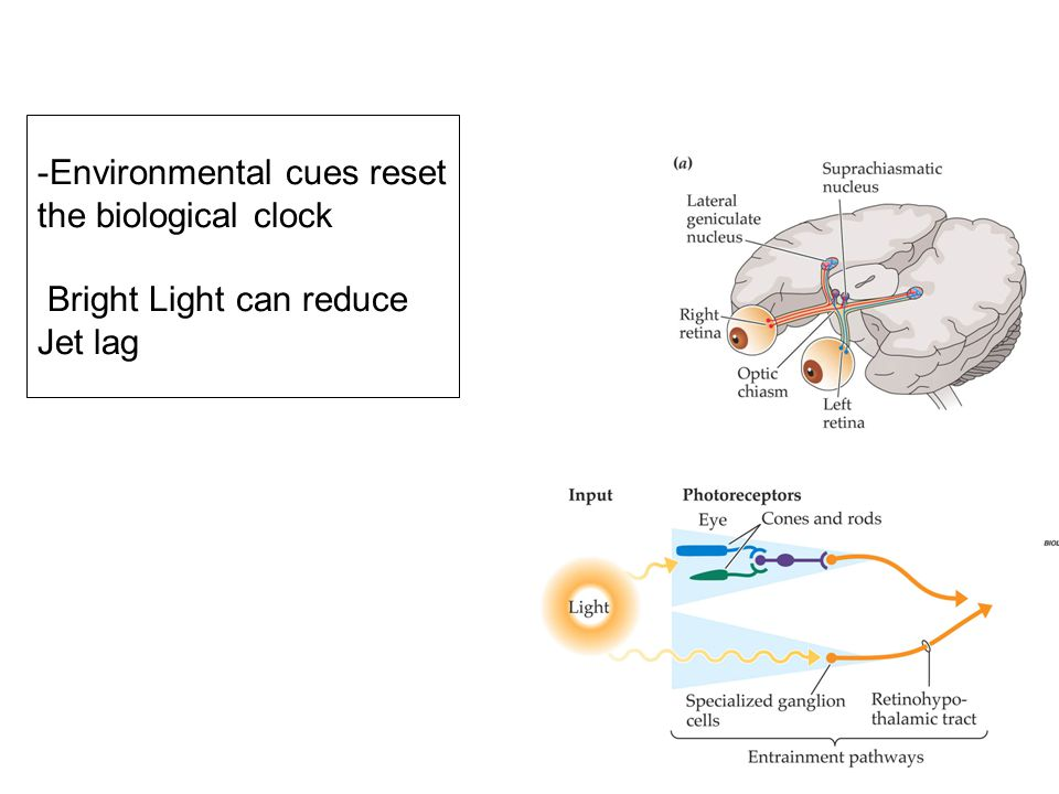 Environmental cues reset the biological clock Bright Light can reduce Jet lag