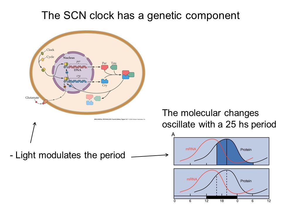 The SCN clock has a genetic component