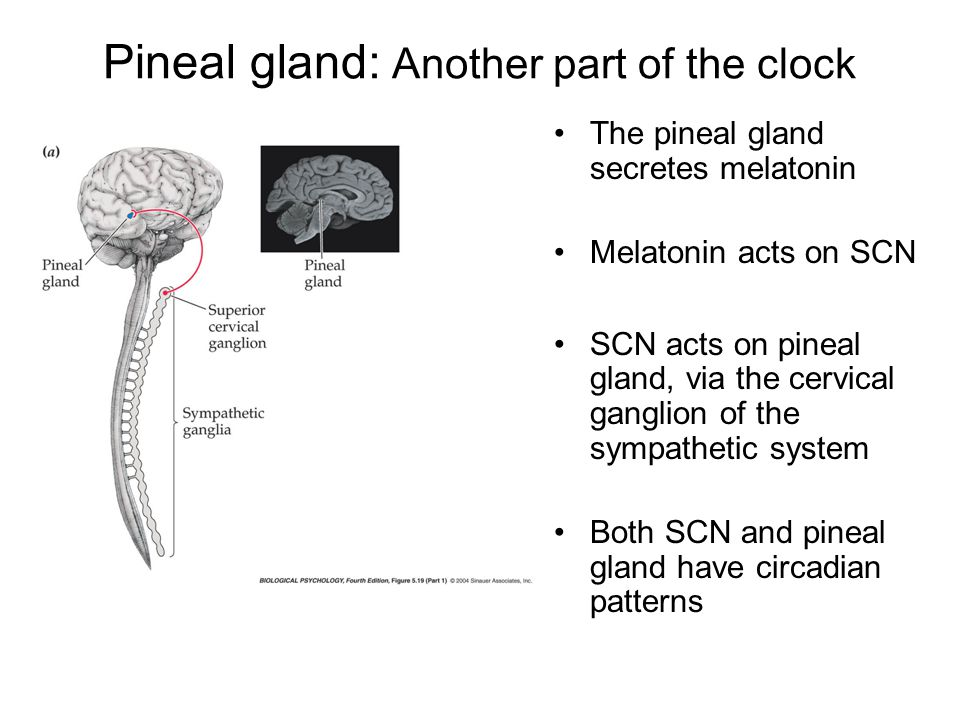 Pineal gland: Another part of the clock