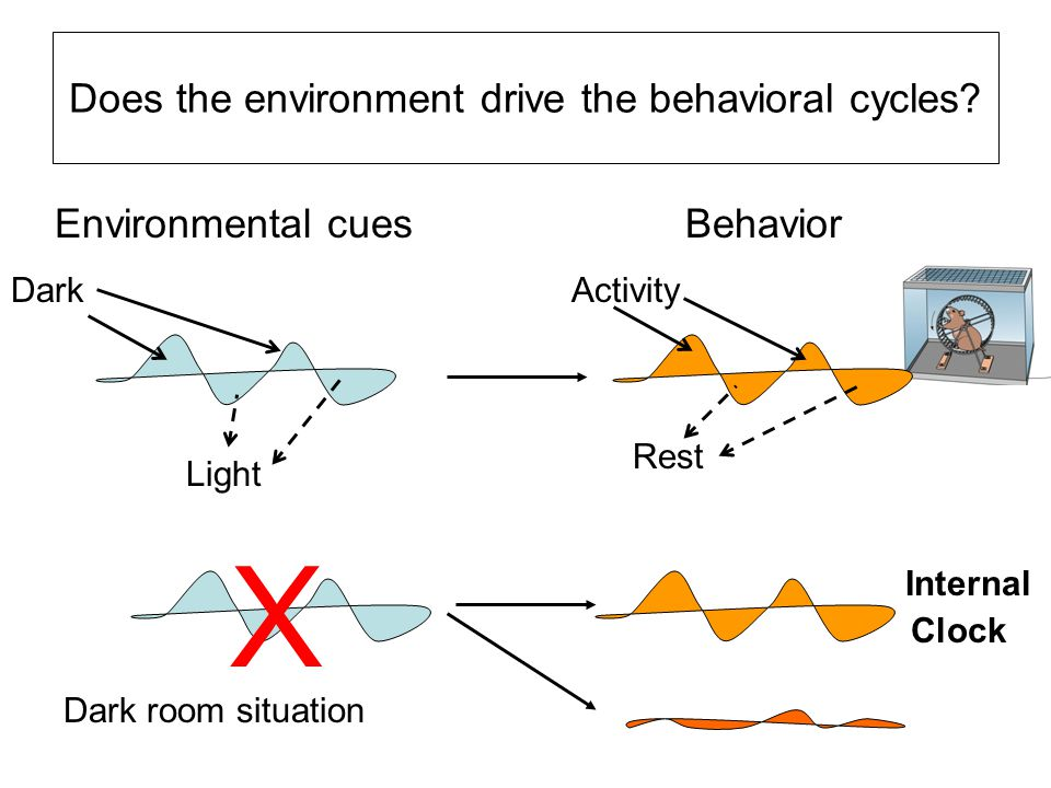 Does the environment drive the behavioral cycles