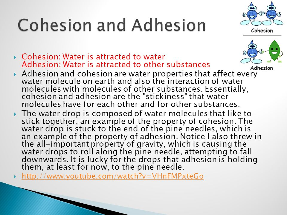 Cohesion and Adhesion Cohesion: Water is attracted to water Adhesion: Water is attracted to other substances.
