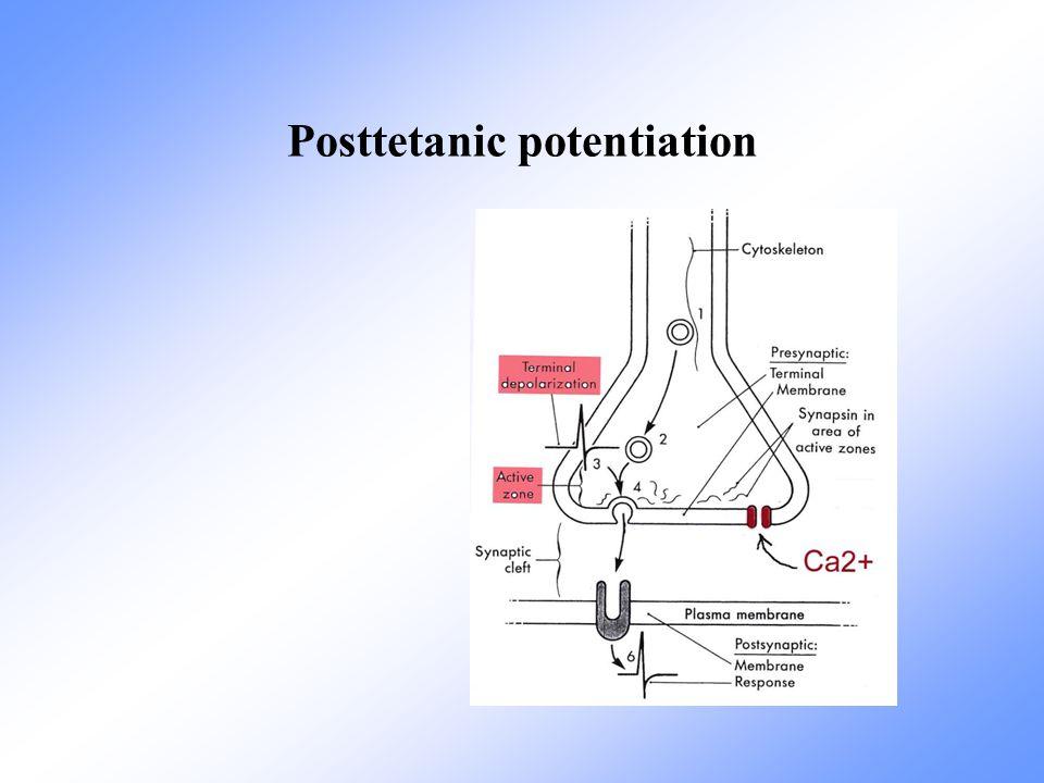 Posttetanic potentiation