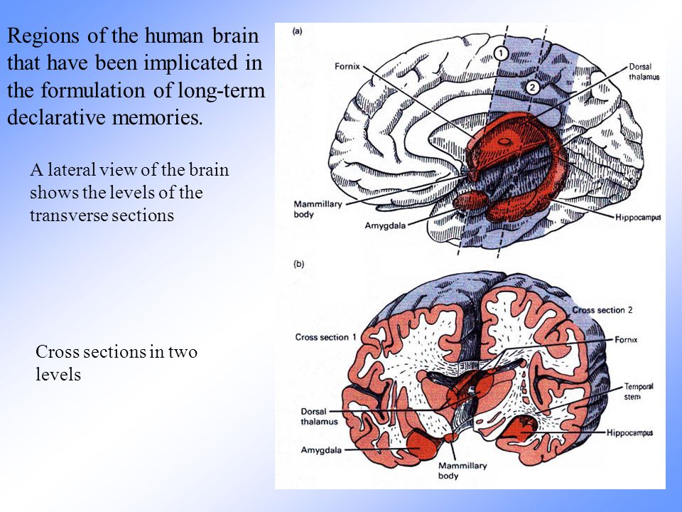 Regions of the human brain that have been implicated in the formulation of long-term declarative memories.