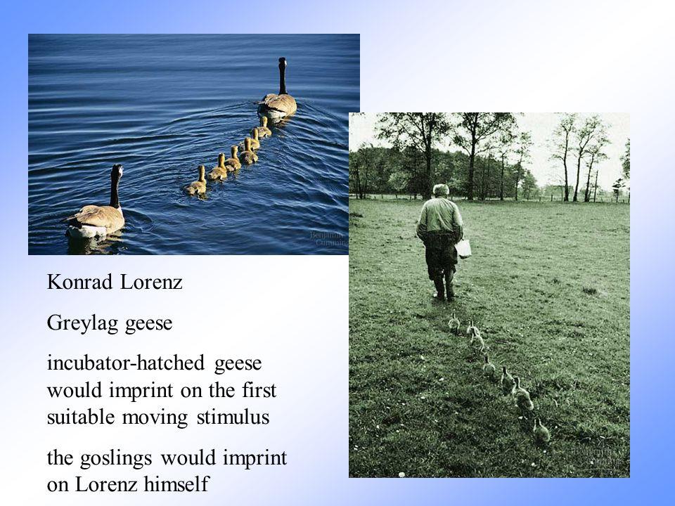 Konrad Lorenz. Greylag geese.