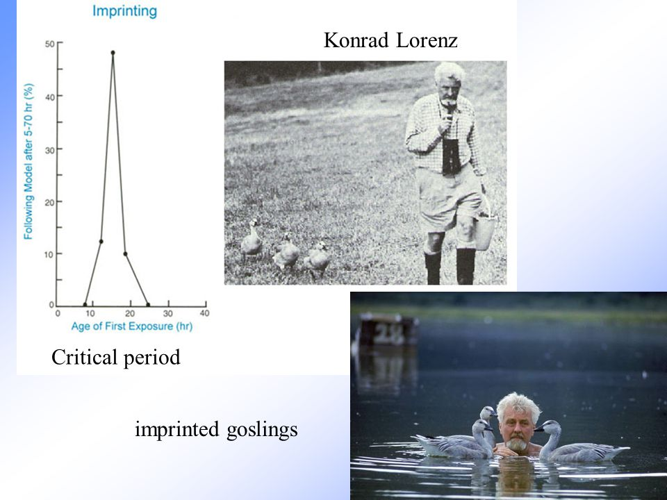 Konrad Lorenz Critical period imprinted goslings