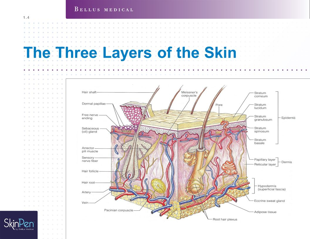The Three Layers of the Skin