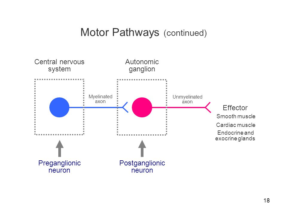 Motor Pathways (continued)