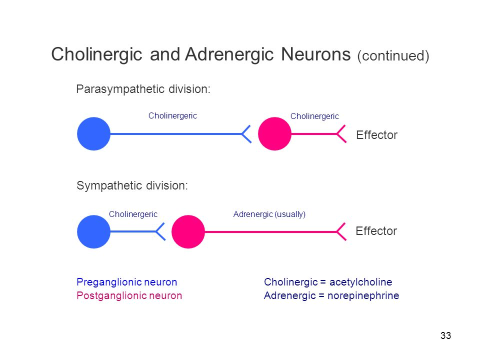 Cholinergic and Adrenergic Neurons (continued)