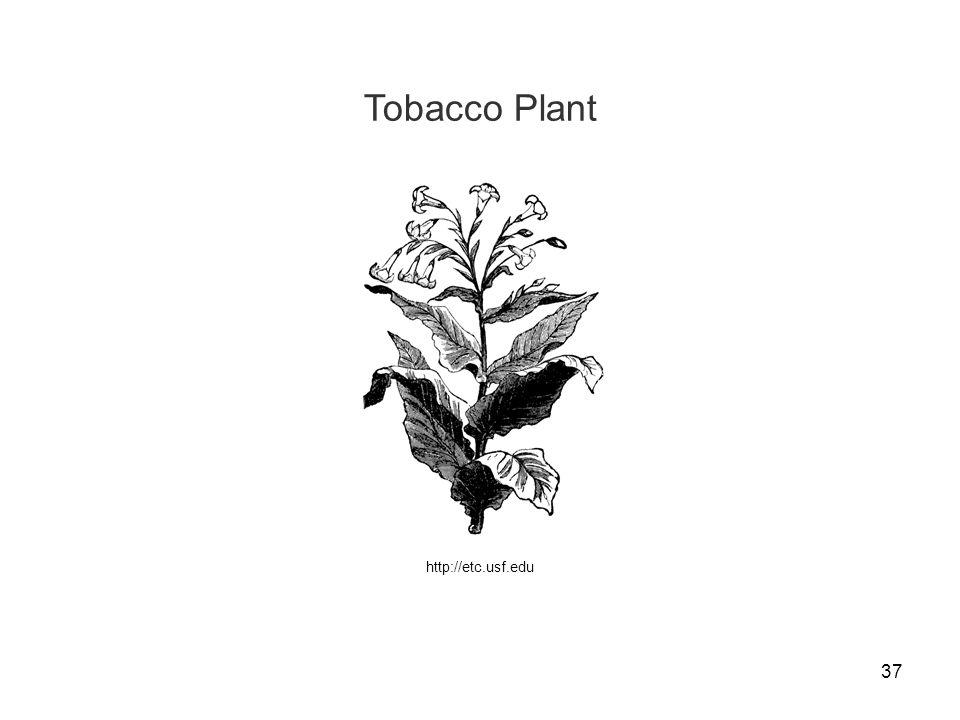Tobacco Plant http://etc.usf.edu