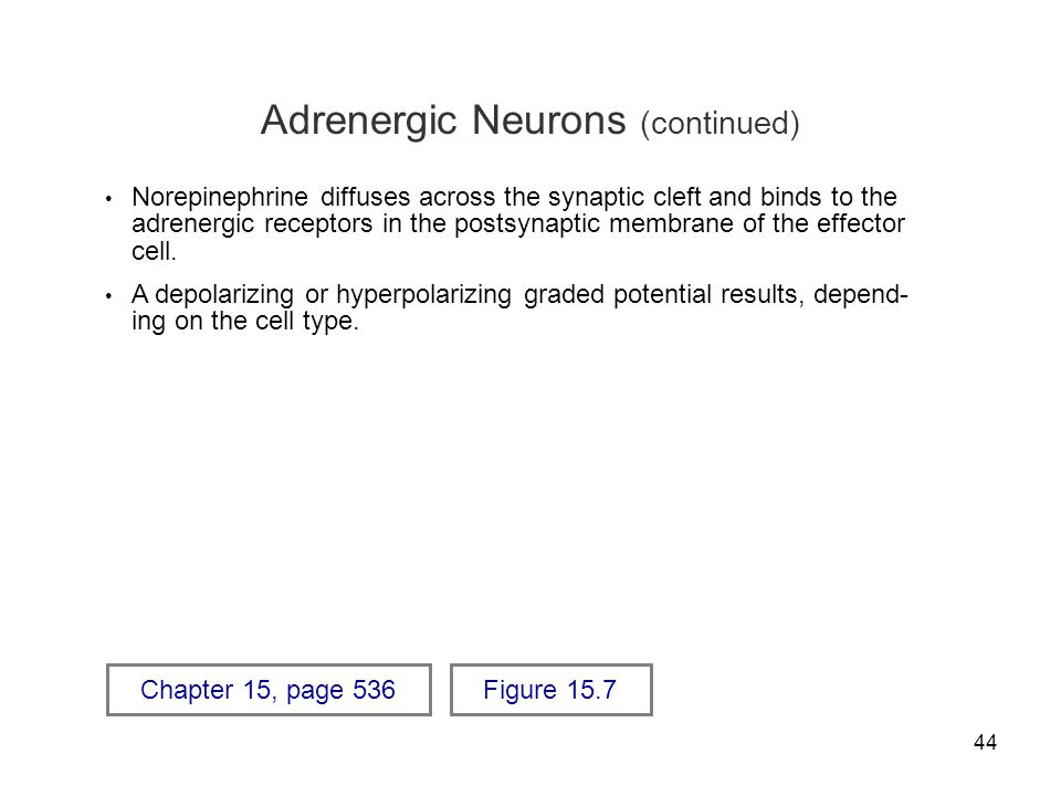 Adrenergic Neurons (continued)