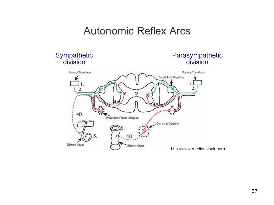 Autonomic Reflex Arcs Sympathetic division Parasympathetic