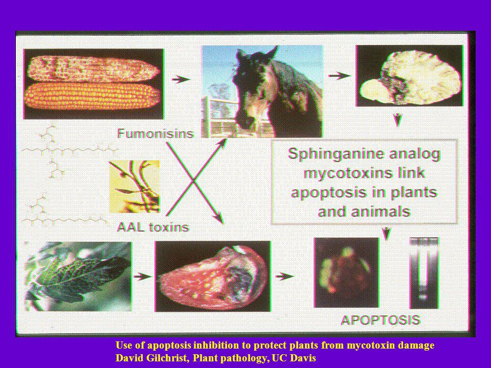 Use of apoptosis inhibition to protect plants from mycotoxin damage