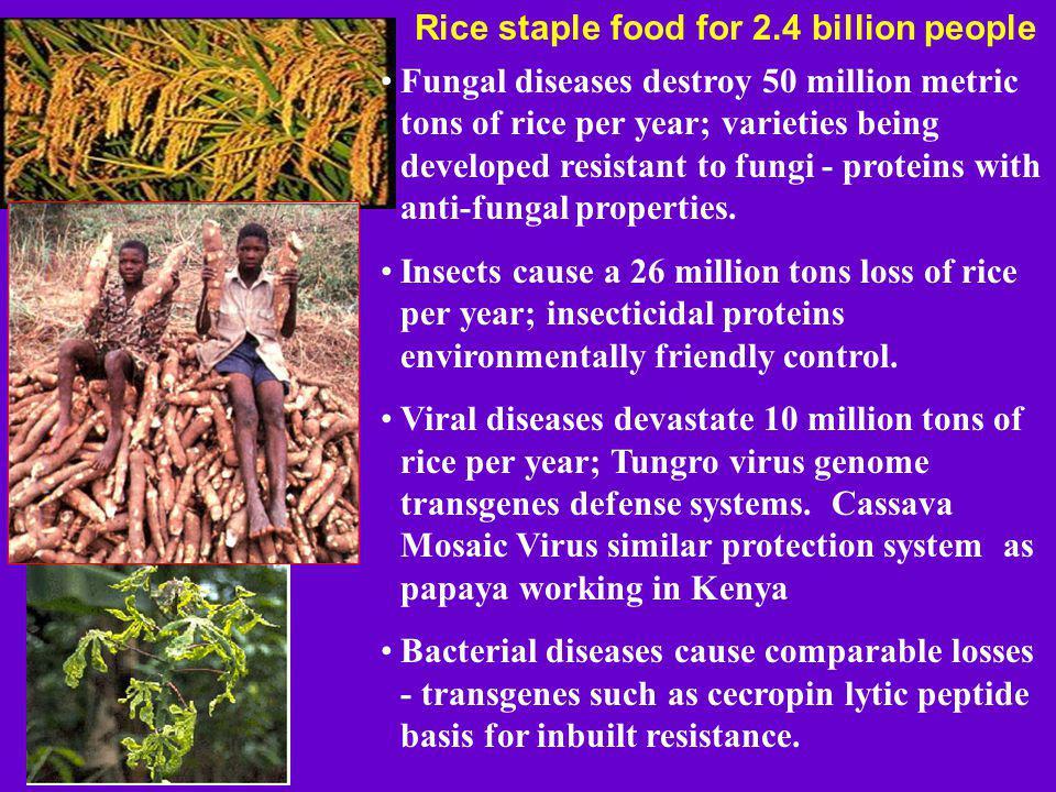 Rice staple food for 2.4 billion people