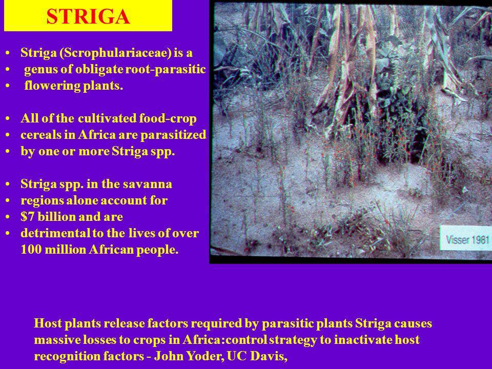 STRIGA Striga (Scrophulariaceae) is a genus of obligate root-parasitic