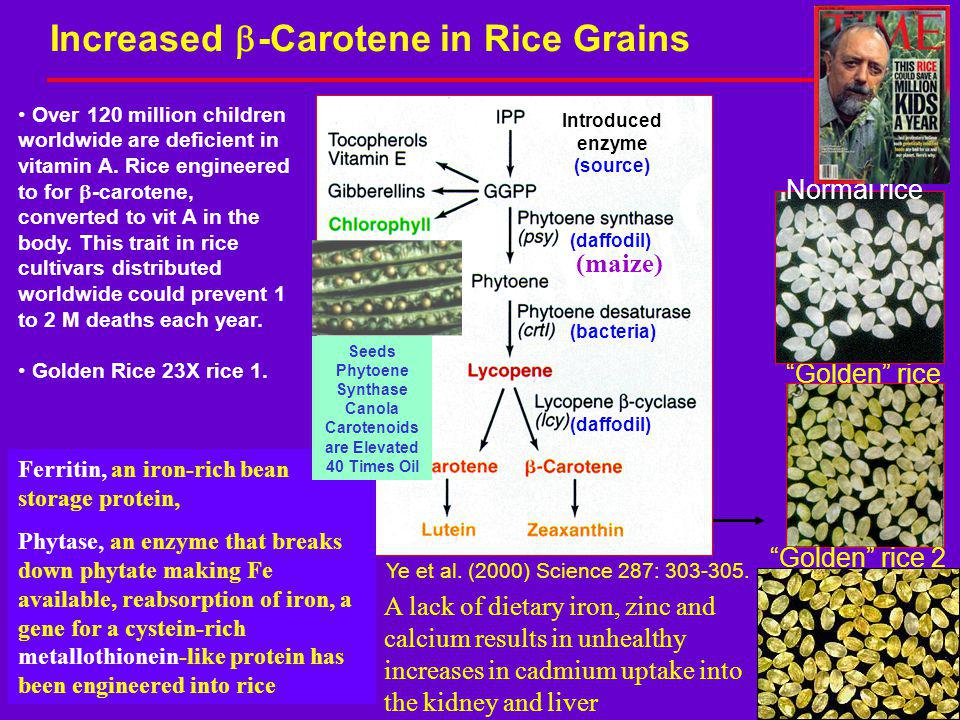 Increased b-Carotene in Rice Grains