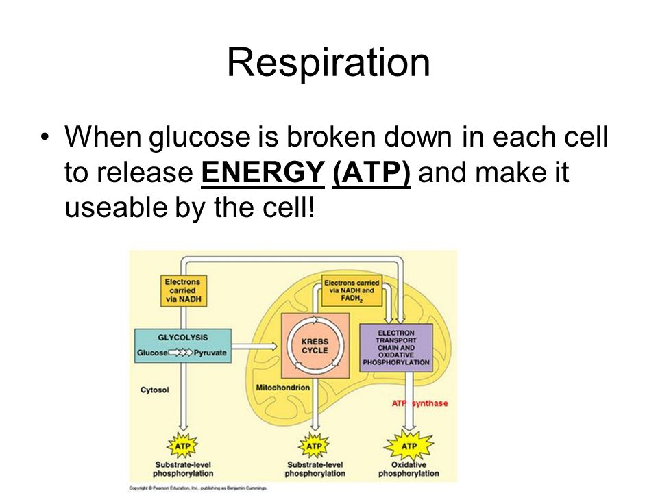 Respiration When glucose is broken down in each cell to release ENERGY (ATP) and make it useable by the cell!