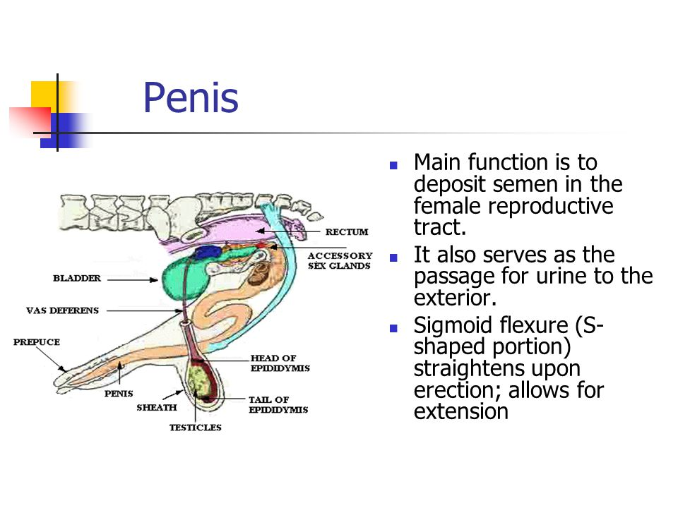 Penis Main function is to deposit semen in the female reproductive tract. It also serves as the passage for urine to the exterior.