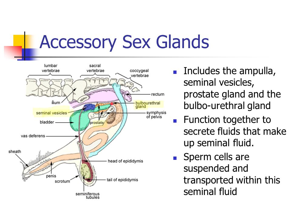 Accessory Sex Glands Includes the ampulla, seminal vesicles, prostate gland and the bulbo-urethral gland.